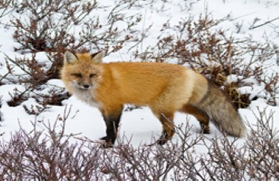 canada churchill red fox frontiers north